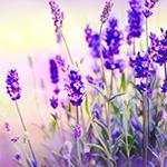 WBH-scent-lavender